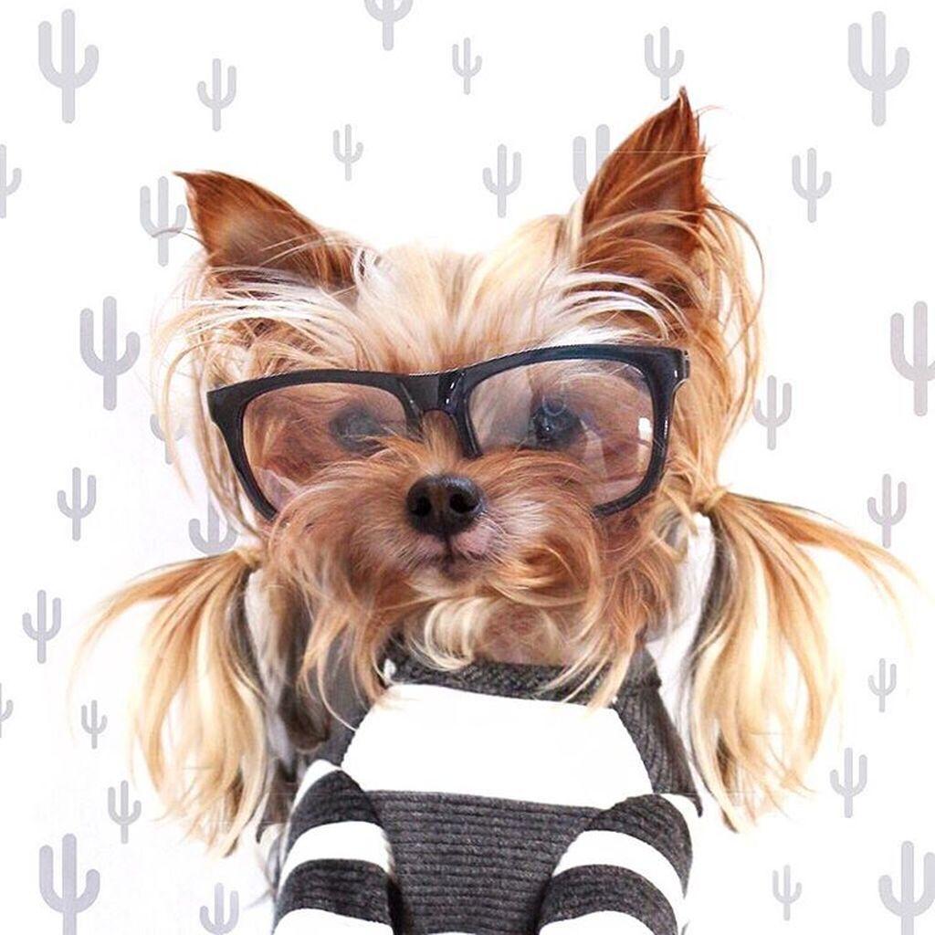 yorkie, dog, hair