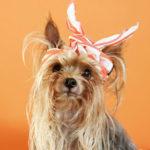 yorkie-hair, dog